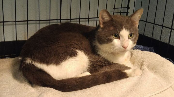 OLIVER, an adoptable Domestic Short Hair in Tyler, TX