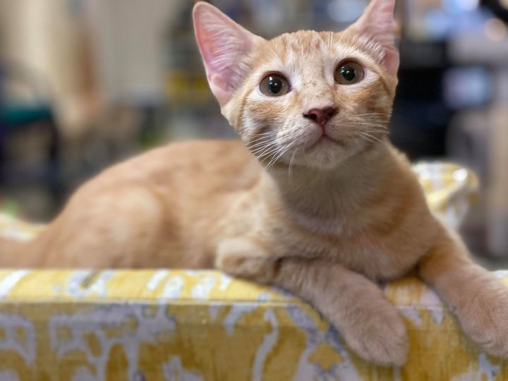 Ralphie, an adoptable Domestic Short Hair in Tyler, TX