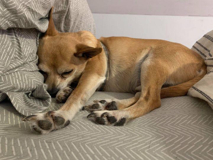 Bo, an adoptable Chihuahua Mix in Hudson, NH