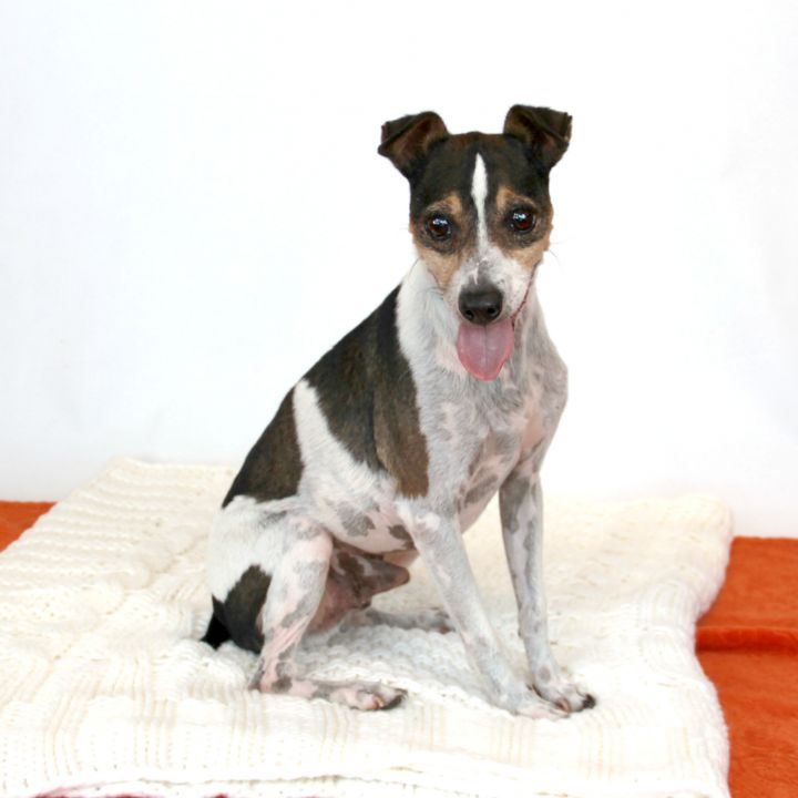 Jack, an adopted Jack Russell Terrier Mix in Clovis, CA