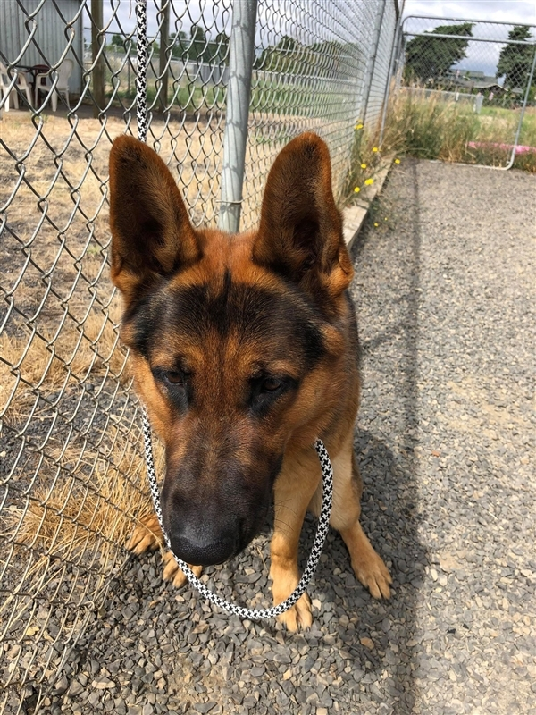 Frankie, an adoptable German Shepherd Dog Mix in McMinnville, OR