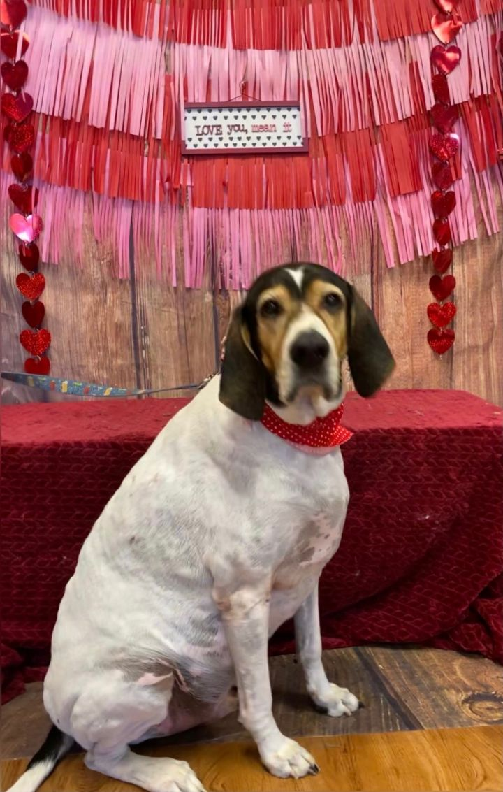 Poppop, an adoptable Treeing Walker Coonhound Mix in Oklahoma City, OK_image-1