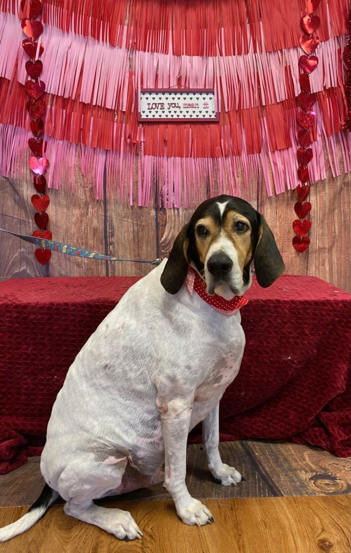 Poppop, an adoptable Treeing Walker Coonhound Mix in Oklahoma City, OK_image-4