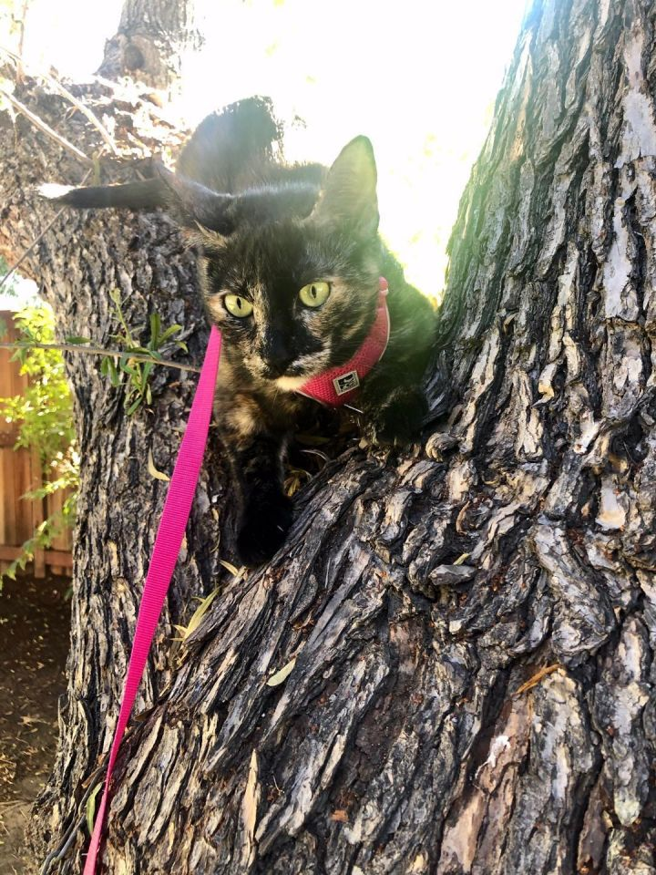 Hermione, an adoptable Domestic Short Hair in Mission Viejo, CA