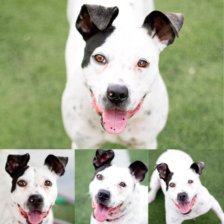 Rio, an adoptable Pit Bull Terrier & Cattle Dog Mix in Eagle, ID