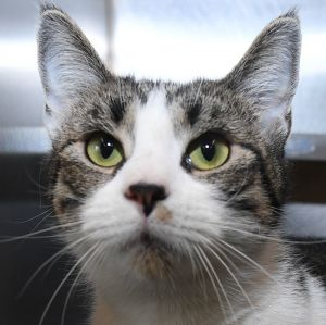Cats For Adoption Near Derby Ct Petfinder