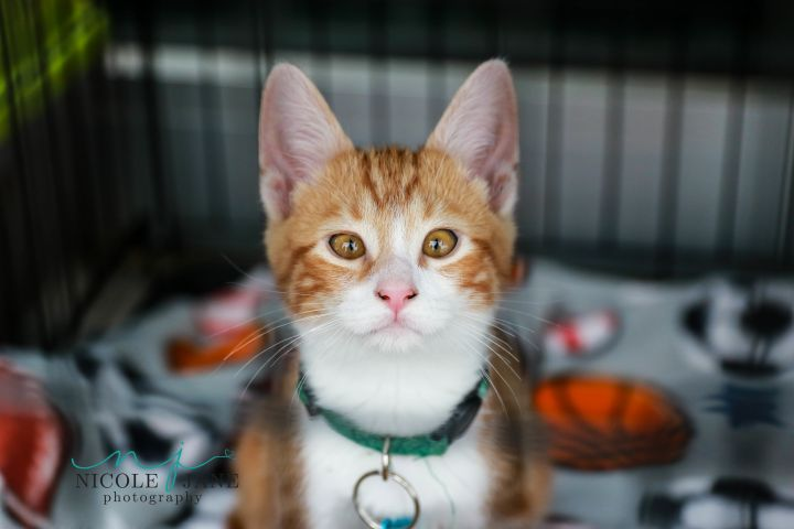 Ajani, an adoptable Domestic Short Hair Mix in Springfield, MO