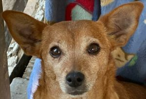Benita is a ten year-old Chihuahua mix rescued from North Carolina She along with three others we