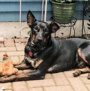 Marine Shepherd Dog