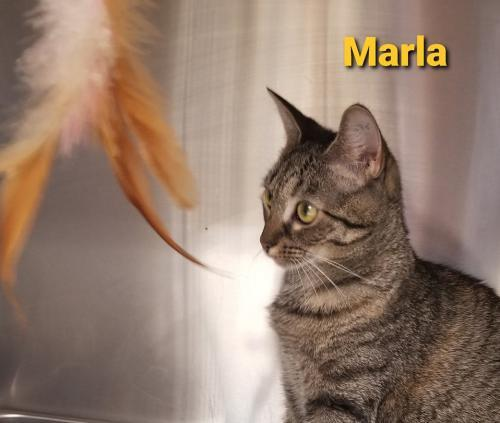 Marla, an adoptable Domestic Short Hair Mix in Bridgewater, NJ