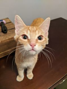 Colby Jack, an adoptable Domestic Short Hair & Tabby Mix in Kentwood, MI