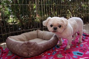 I am perfect This gentle soul is Grant a sweet senior 11 year old Shihtzu Mix with no permanent