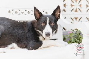 Meet Demi Demi is a 1 year old Border Collie mix She is a beautiful sweet and goofy girl She