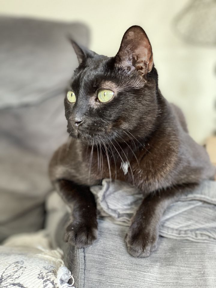 FELIX!, an adoptable Domestic Short Hair in Philadelphia, PA