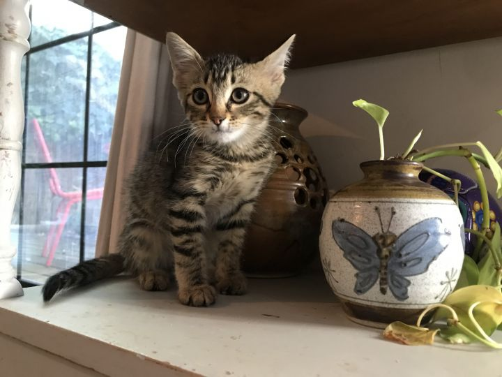 Chi, an adopted Tabby in Vallejo , CA