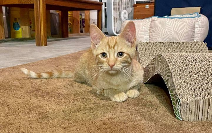 Q, an adoptable Domestic Short Hair & Tabby Mix in Kentwood, MI