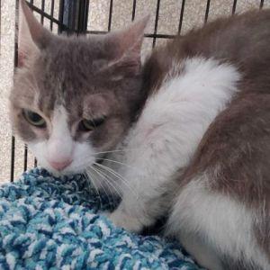 Ethel Domestic Short Hair Cat
