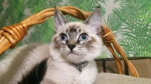 Baby Blu Eyes NAPA