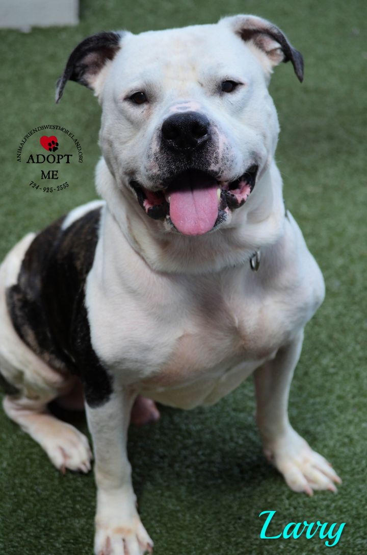 Larry, an adoptable American Bulldog Mix in Youngwood, PA
