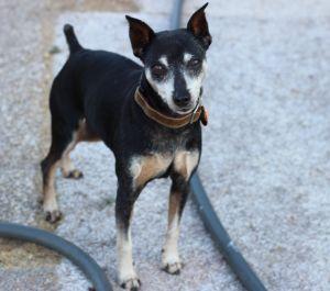 Jack Miniature Pinscher Dog