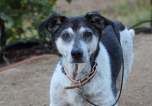 Van is a very old JRT mix who if he could speak would probably have many stories to tell His