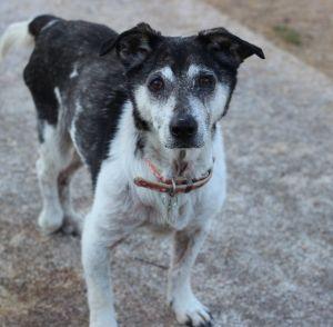 Van Jack Russell Terrier Dog