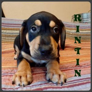 You can fill out an adoption application online on our official website Rin Tin TX is a male mixe