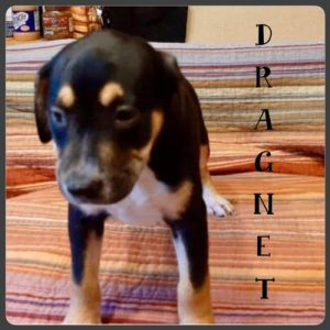 You can fill out an adoption application online on our official website Dragnet TX is a male mixe