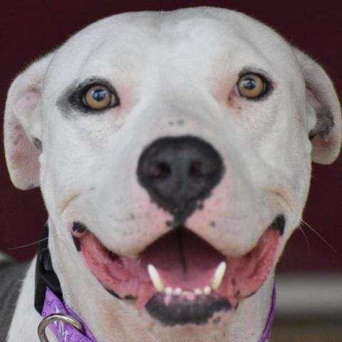 Dog For Adoption Bender An English Bulldog In Houston