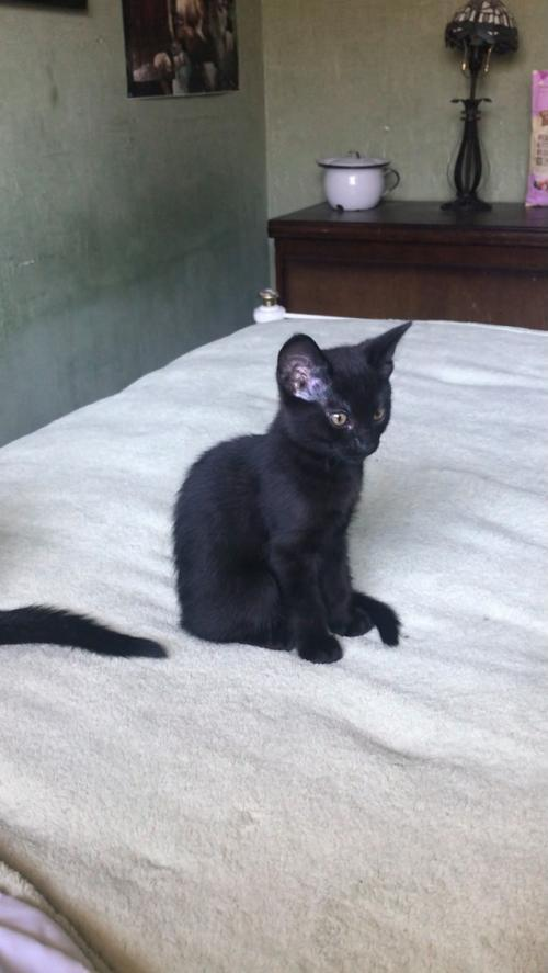 Osa Napa, an adopted Domestic Short Hair in Napa, CA