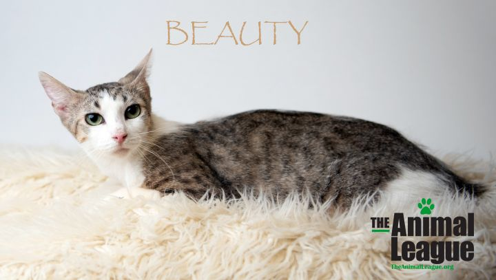 Beauty, an adoptable Domestic Short Hair Mix in Clermont, FL
