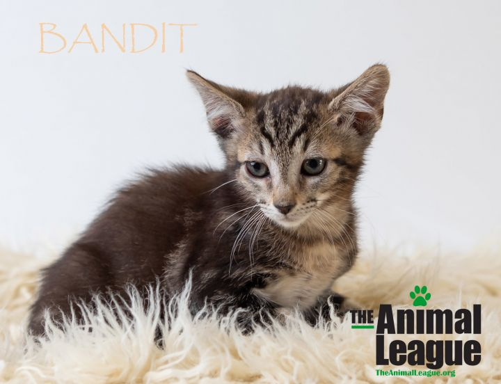 Bandit, an adoptable Domestic Medium Hair Mix in Clermont, FL