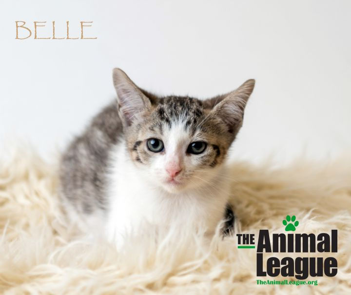 Belle, an adopted Domestic Short Hair Mix in Clermont, FL