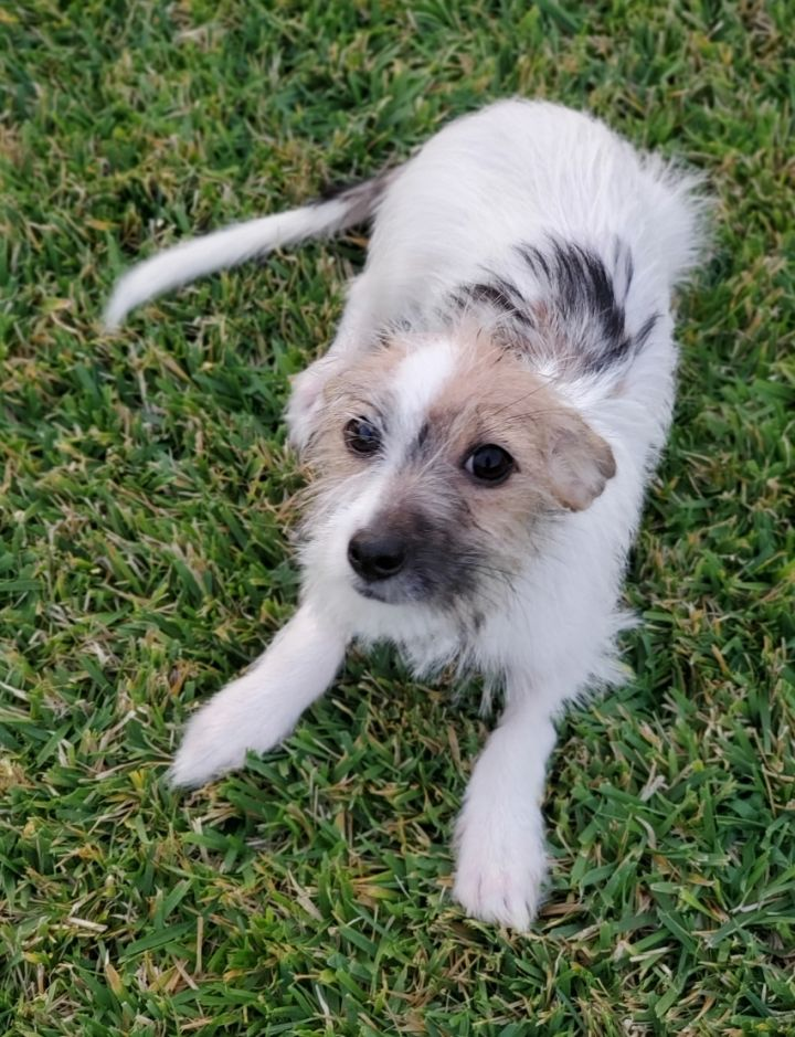 Harmony, an adopted Wirehaired Terrier & Border Terrier Mix in Redlands, CA
