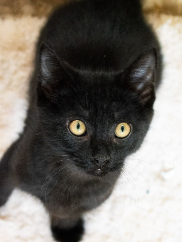 Lester, an adopted Domestic Short Hair in Shippenville, PA