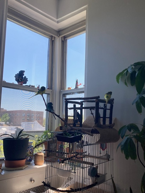 Lemon (m), Pineapple (m) and Blue Moon (f), an adoptable Parakeet (Other) in North Babylon, NY