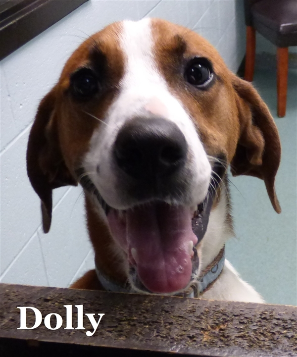 Dolly, an adoptable Boxer & Hound Mix in Louisville, KY