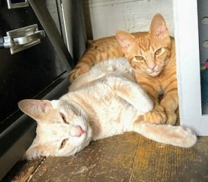 Hi Were Steinbeck and Hawthorne We were rescued at SF Animal Care  Control where they thought we