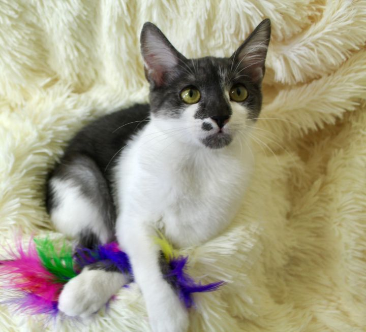 Marcelina, an adoptable Domestic Short Hair in Saint Augustine, FL