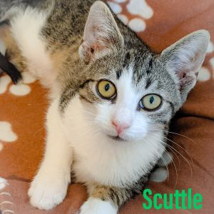 Meet Scuttle  This young boy is incredibly outgoing  playful cuddly  and loving He teaches all