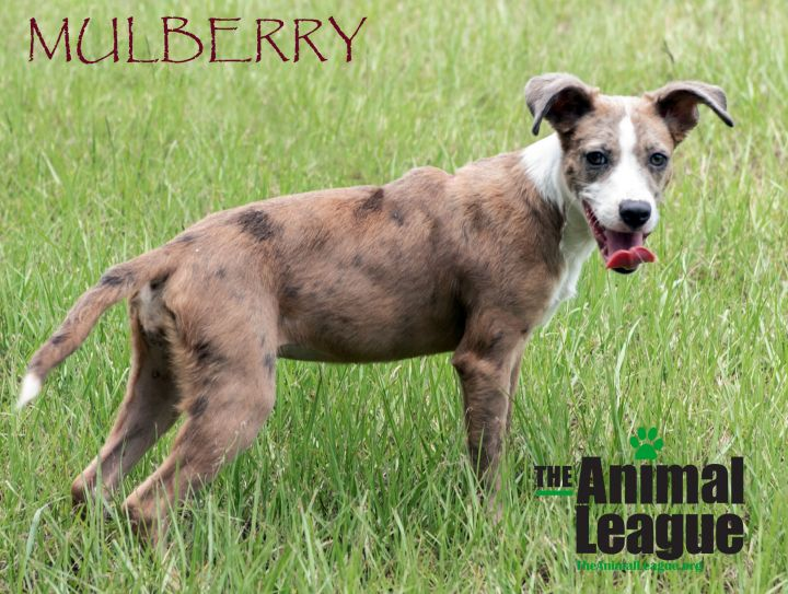 Mulberry, an adopted Catahoula Leopard Dog & Whippet Mix in Clermont, FL