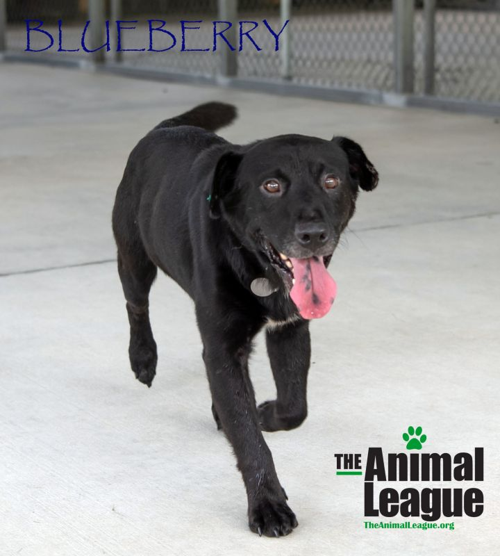 Blueberry, an adopted Labrador Retriever Mix in Clermont, FL