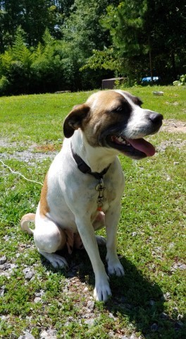 Feren, an adopted Boxer Mix in Lenoir, NC