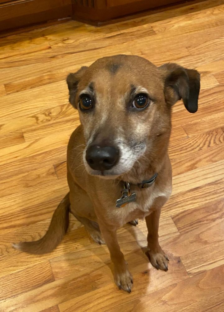 Rocco, an adoptable Whippet Mix in Clayton, NC