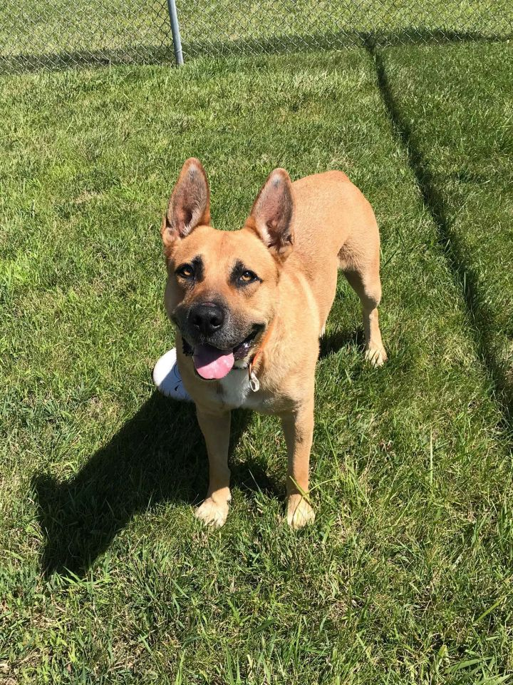Dog For Adoption Odin A Shepherd Boxer Mix In Alexandria Mn Petfinder