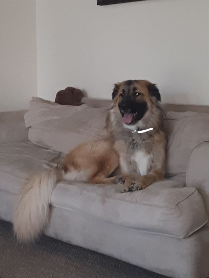 Bjorn, an adopted German Shepherd Dog & Great Pyrenees Mix in Manhattan, KS