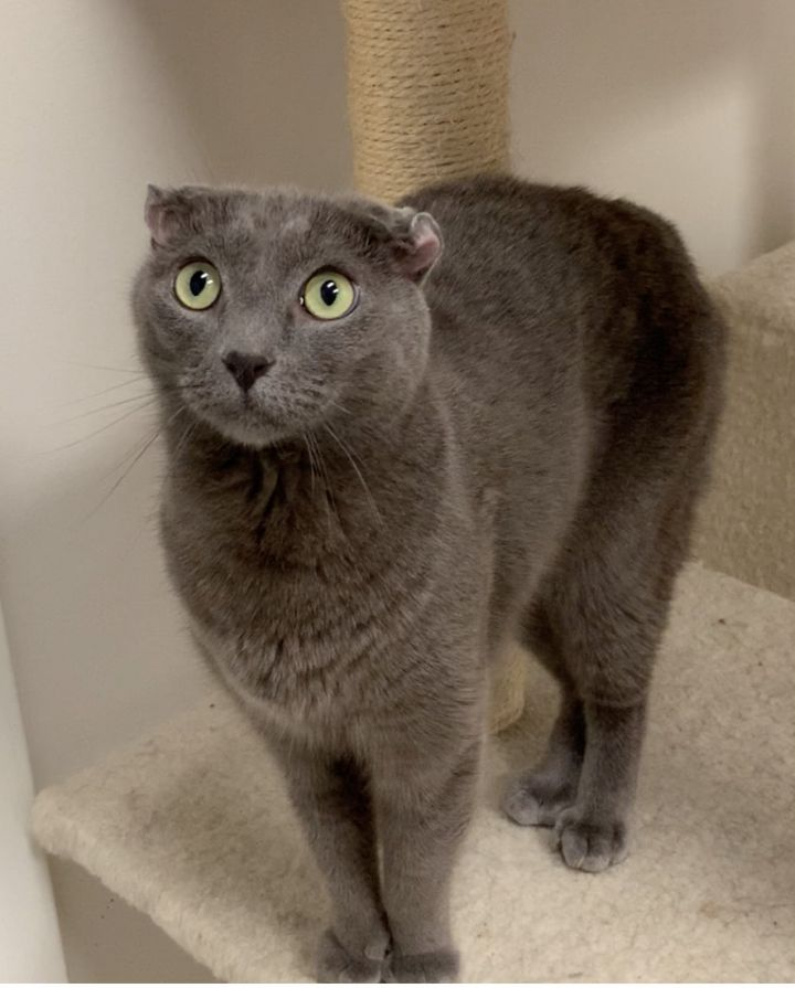 Dude, an adoptable Domestic Short Hair in New Rochelle, NY