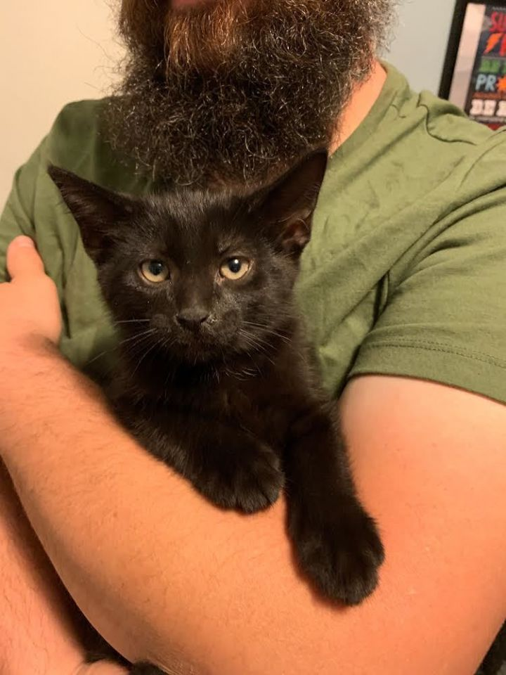 Bronx, an adopted Domestic Short Hair in Eaton Rapids, MI