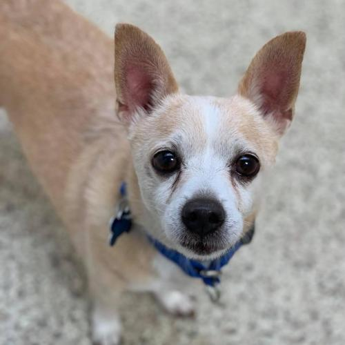 Buzz, an adoptable Chihuahua Mix in Jackson, WY