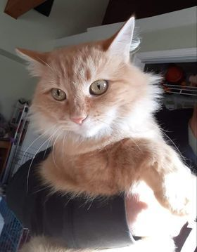 Olivia, an adopted Domestic Medium Hair in Troy, VA_image-1
